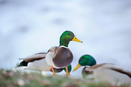 Male Mallard Ducks Stock Photo - 17115155