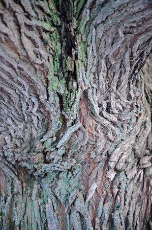 crack willow: Willow Tree Bark Texture