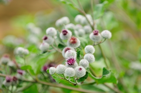 Blooming Woolly Burdock (Arctium Tomentosum) photo