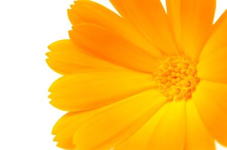 pot marigold: A close-up of bright orange calendula officinalis (pot marigold) flower on a white background