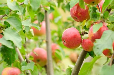 albero di mele: Mele rosse che crescono su un albero di mele nel giardino
