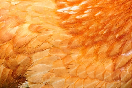 A close-up of red chicken feathers