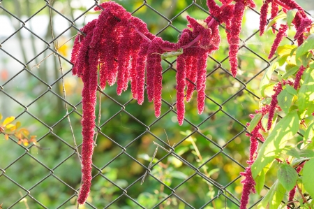 Blooming amaranth (love-lies-bleeding) growing by a chain-link fence Stock Photo - 18252235
