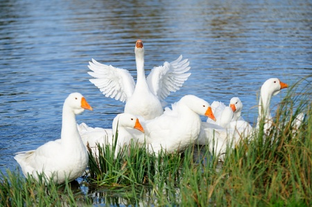 White domestic geese swimming in the lake by the shore with one goose flapping its wings photo