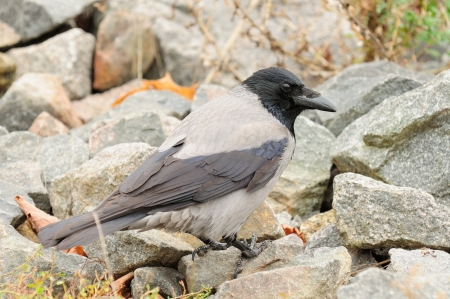 A close-up shot of hooded crow (Corvus cornix) on stones Stock Photo - 18252178