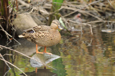 A cute female mallard duck standing on an old tyre in the river photo
