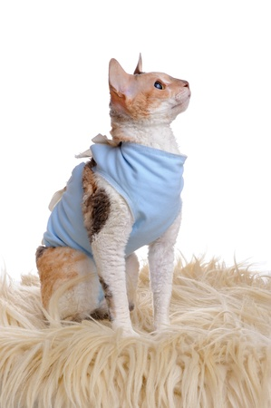 spaying: Cat Wearing Medical Pet Shirt After Surgery