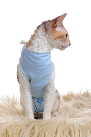 cornish: Cat Wearing Medical Pet Shirt After Operation Stock Photo