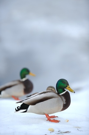 Mallard Ducks on Snow in Winter Stock Photo - 19023801