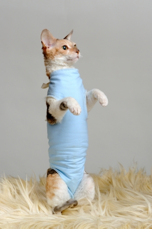 Cute Cat in Shirt Standing on Hind Legs photo