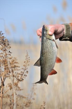 chub: Fisherman Holding Chub Fish  Leuciscus Cephalus
