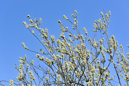 pussy tree: Pussy Willow with Catkins