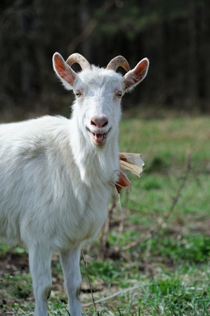bleating: Bleating Goat on Pasture