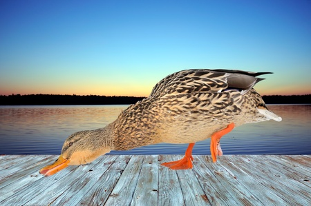 Duck on Deck by the Lake Stock Photo - 19583830