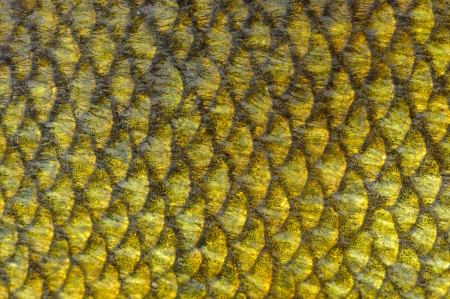 Real Tench Fish Scales Close-Up as Background Texture photo
