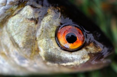 rutilus: Fish Eye Close-Up