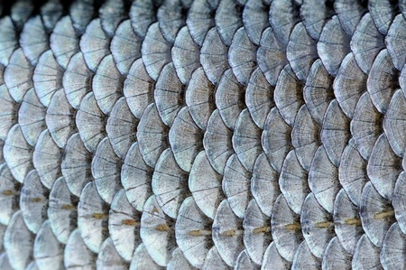 Real Roach Fish Scales Background Stock Photo