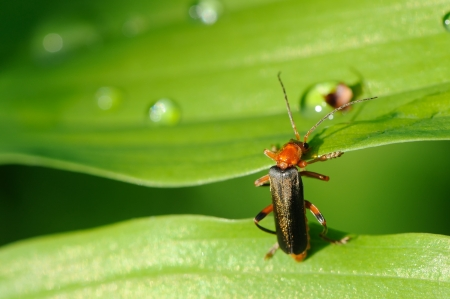 Soldier Beetle Cantharis Rustica Climbing a Leaf