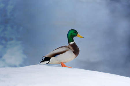 Mallard Duck on Snow Stock Photo - 19968633