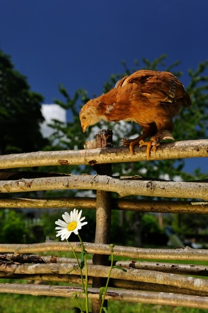 Chicken on Wicker Fence Looking at Flower photo