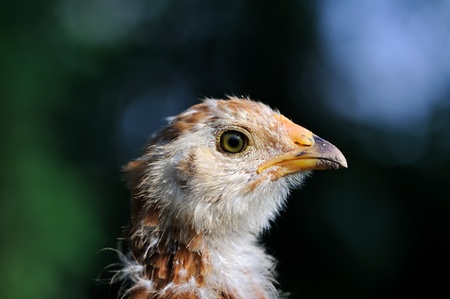 mottled: Mottled Baby Chicken Close-Up Stock Photo