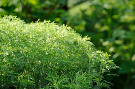 ornamental shrub: Green Southernwood or Artemisia Abrotanum Shrub Stock Photo