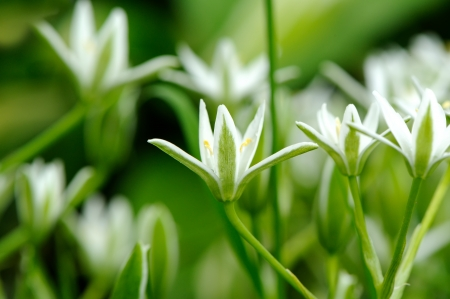 Elegant White Ornithogalum or Grass Lily Flowers Close-Up