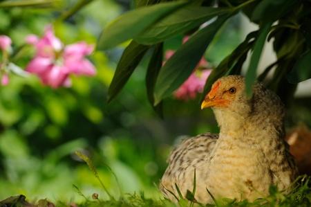 Chicken Sitting Under Bush Stock Photo - 20479826