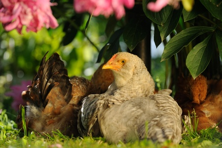 Chickens Sitting Under Bush Stock Photo - 20486668