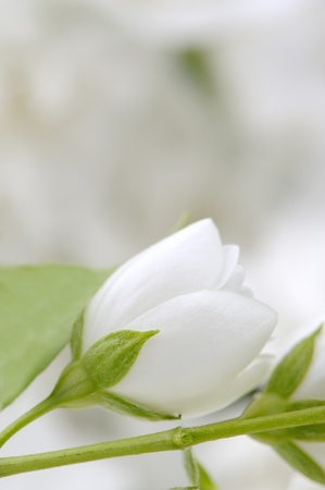 philadelphus: Wedding Background with White Jasmine Flowers Stock Photo