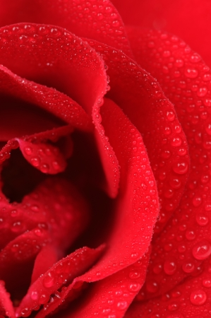 Beautiful Red Rose with Water Drops Macro photo