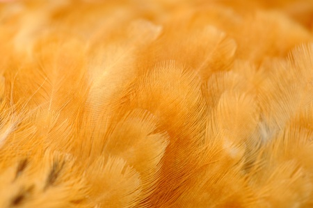 Red Chicken Feathers Closeup Stock Photo - 20486664