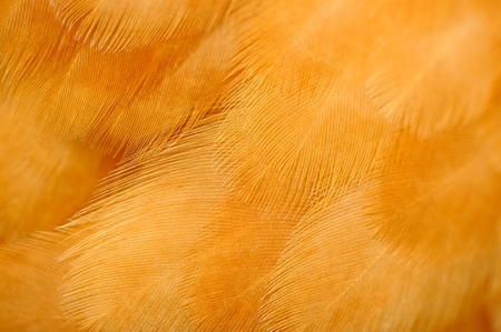 Red Chicken Feathers Macro Stock Photo - 20444540