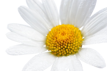 anti stress: Daisy  Chamomile  Flower with Water Drops on White Background