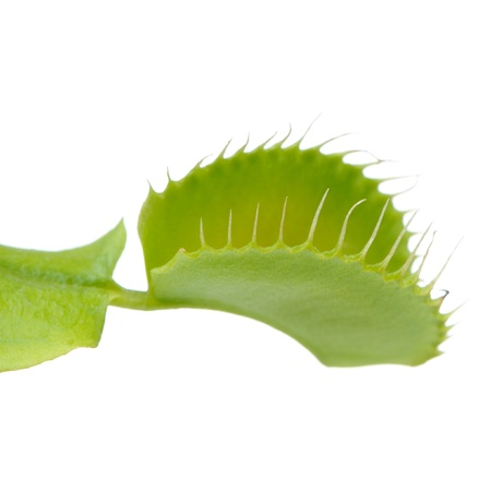 Venus Flytrap Leaf Trap on White Background Zdjęcie Seryjne - 21602115