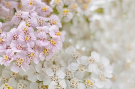 Yarrow  Achillea  Flowers Close-Up