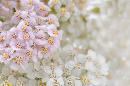 Yarrow  Achillea  Flowers Close-Up