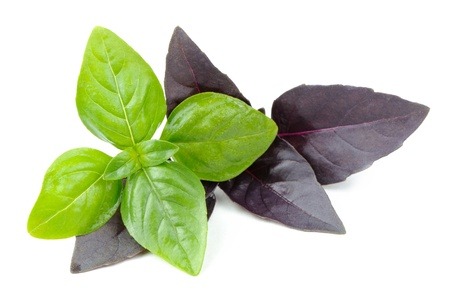 Green and Purple Basil Herb Isolated on White Background photo
