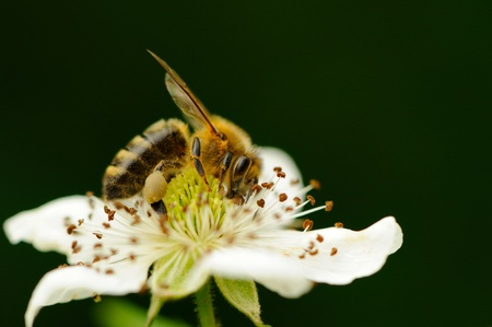 Bee Pollinating Flower Stock Photo - 21602158