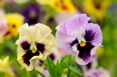 flamy: Pansy Violet Flowers on Flower Bed Stock Photo