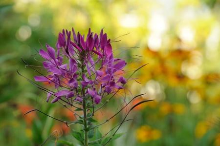 flower spider: Cleome Flower  Spider Plant