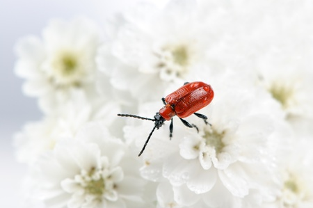 Scarlet Lily Beetle photo