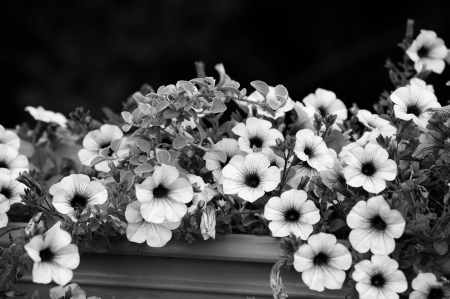 Black and White Petunia Flowers photo