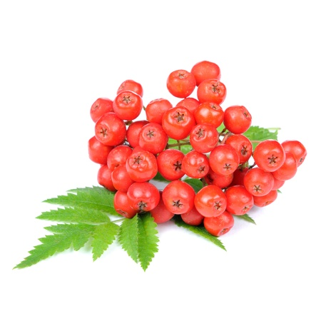 Red Rowan or Mountain-Ash Berries Isolated on White Background Archivio Fotografico