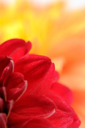 flower close up: Red Dahlia Petals Close-Up