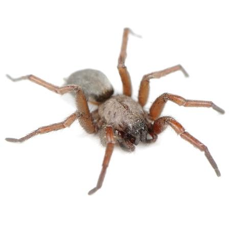 genera: Spider  Haplodrassus Signifier  Isolated on White Background Stock Photo