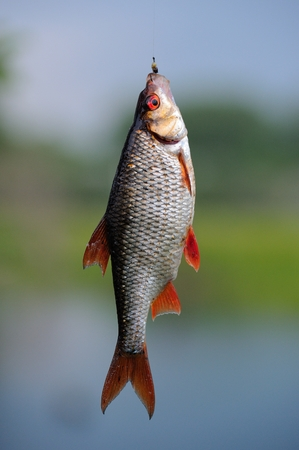 roach: A roach fish hanging on the hook