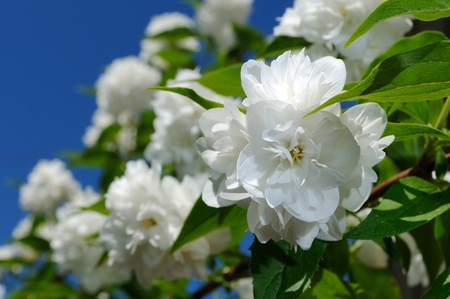 philadelphus: Beautiful White Jasmine Flowers on Blue Sky