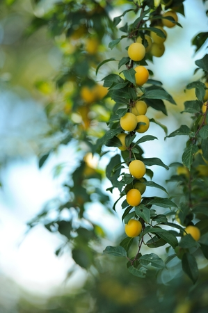 prunus cerasifera: Yellow Cherry Plums on Tree Branch Stock Photo