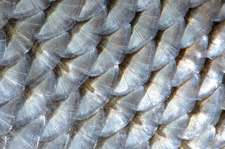 Real Fish Scales Macro as Background Stock Photo - 22812629